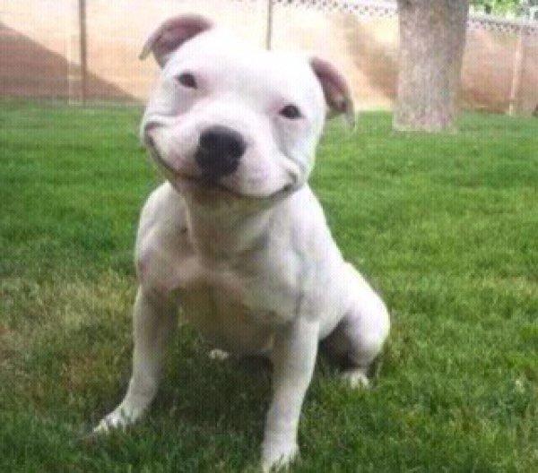 smiling-pitbull-puppy