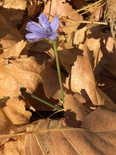 Chamna Chase - chicory flower in brown leaves