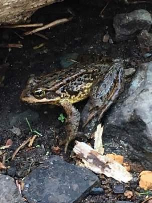 PCT frog